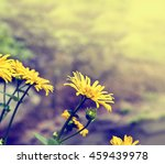 beautiful yellow chamomiles... | Shutterstock . vector #459439978