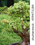 Small photo of Acer buergerianum (Trident Maple), species of maple native to eastern China