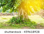 bodhi tree with sunlight   Shutterstock . vector #459618928