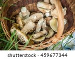 Gathering Mushrooms. Leccinum...