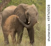 Small photo of African Bush Elephant,Loxodonta africana, having a dust bath. South Africa, Timbavati game reserve.
