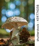 Small photo of Edible Blusher fungi (Amanita rubescens)