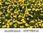 Flowers Yellow Marigolds On The ...