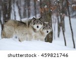 Two Timber Wolves Or Grey...