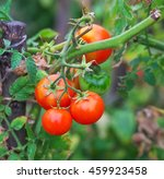 Small Tasty Tomatoes On A...