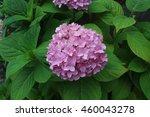 Beautiful Pink Hydrangea...