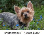 silky terrier outside...