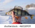 Perch in fisherman's hand caught in extremely cold weather - stock photo
