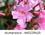The Oleander  Nerium Oleander ...