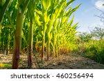 Along A Corn Field In Evening...