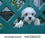Cute Bichon Dog Face Through...