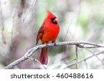 Cardinal Facing Front Right