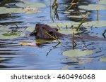 Beaver Swimming At Isle Royale