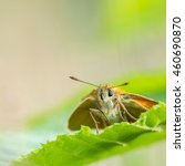Small photo of Skipper (Hesperiidae) butterfly