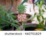 a pineapple. home pineapple.... | Shutterstock . vector #460701829