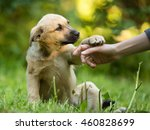 Stock photo cute little puppy mixed breed gives paw to human hand on the grass in summer outdoor 460828699