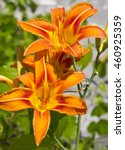 The Orange Day Lily In Bloom.