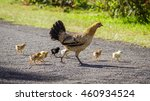 Wild Baby Chickens Crossing A...