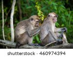 a pair of macaques grooming in... | Shutterstock . vector #460974394