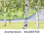 Birch Trees In Summer In The...