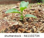 Small photo of green plant growing alone on alluvial land