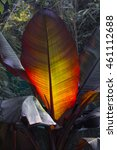 Small photo of Abyssinian Banana, Ethiopian black banana, Wild banana 'Maurelii' (Ensete ventricosum), colorful leave in backlit
