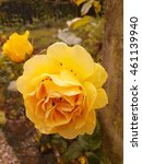 Small photo of Yellow rose covered in gnats and insects