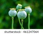 Poppy  Papaver Somniferum  Pod...