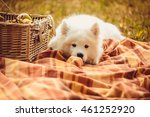 samoyed puppy eating peach on... | Shutterstock . vector #461252920