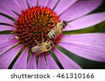 Bees On Echinacea  Purple...