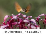 Macro Nature Hummingbird Hawk...