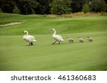 Swan. White Swans. Goose. Gees...