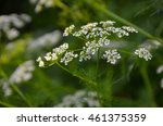 cow parsley anthriscus... | Shutterstock . vector #461375359