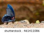 Great Mormon  Papilio Memnon ...