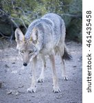 Small photo of Tuscon Coyote Looking