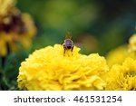 Small photo of Ready to fly - macro view of one honeybee (Apis mellifera) alighted on a blooming yellow flower