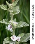 Small photo of Macrophotography of a wild flower (Althaea officinalis)