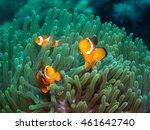 Anemone Fish At Underwater ...