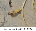 Small photo of Gas or air bladder of sea kelp against a sandy background