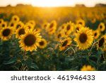 beautiful sunflowers in the... | Shutterstock . vector #461946433