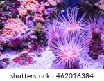 Small photo of Actiniaria anthozoa in the clear water of the ocean (sea, aquarium). Wild life animal.