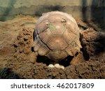 Sulcata Turtle Or Tortoise...