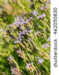 """Small photo of Phacelia (Phacelia tanacetifolia) is a very attractive plant. One of the best honey-producing flowers for honeybees also known for its """"green manure"""" capabilities"""