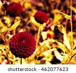 Dahlia Flowers In Garden....