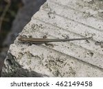 Common Wall Lizard On Stone...