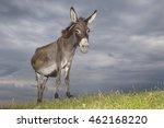 Wild Gray Donkey On The  Meado...