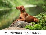 Beautiful Dog Vizsla Laying On...
