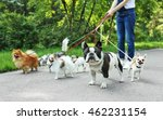 Stock photo woman walking dogs in park 462231154