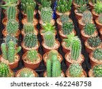Small photo of Top view young cactus on potted plant strewn with pebbles for sale in the market, opuntia microdasys albispina or albata