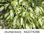Hosta  Funkia  In The Garden....